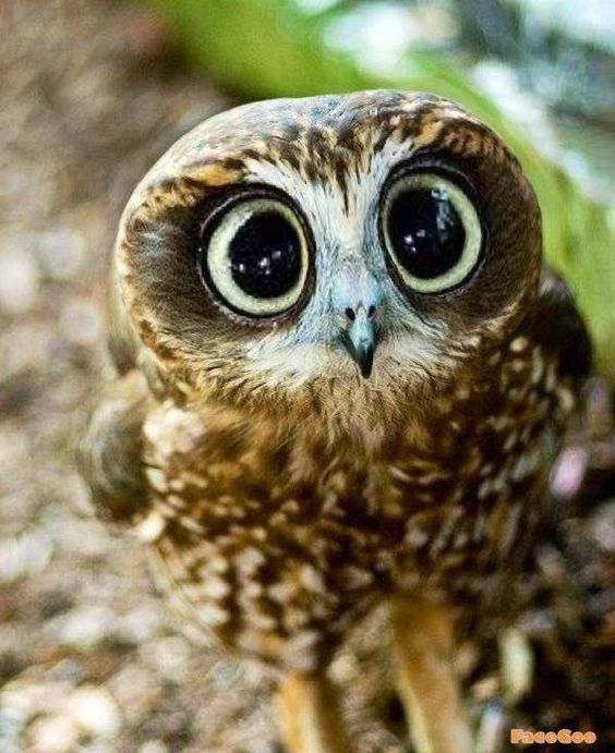 Collection of Cute Owl Pictures on HDWallpapers