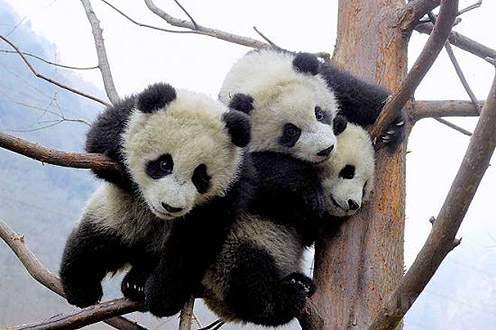 Collection of Cute Panda Pictures on HDWallpapers