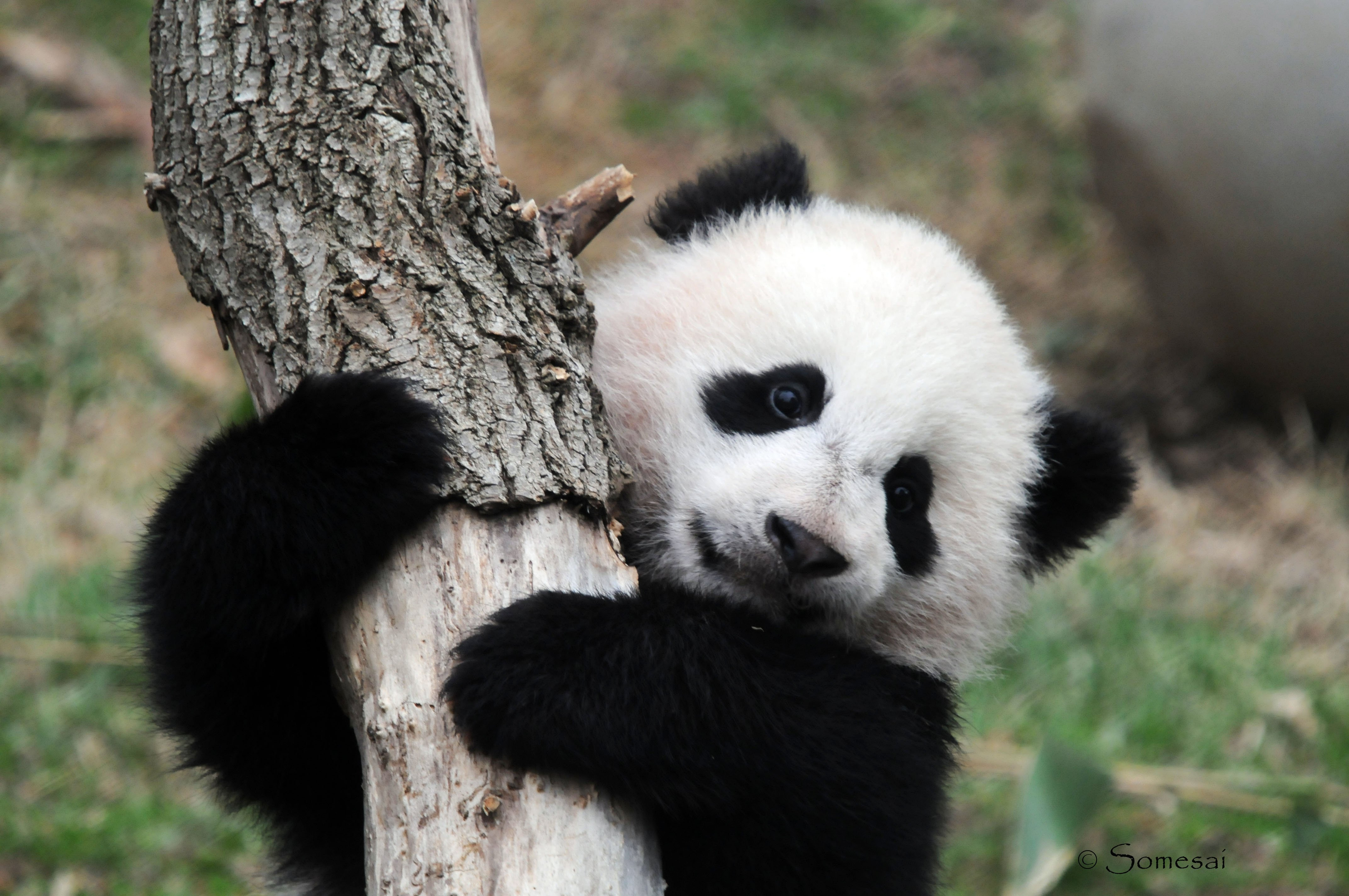 965x602px Sweet Cute Panda Bear | #345270