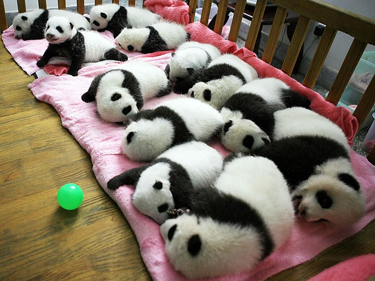 TOP 10 Cutest Baby Pandas Pictures Ever Taken - Top Inspired