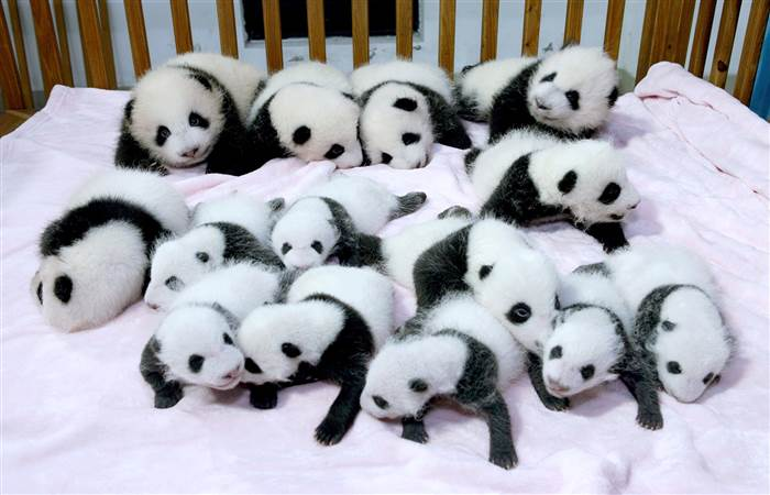 Panda overload! 14 cute babies cuddle in a crib - TODAY com