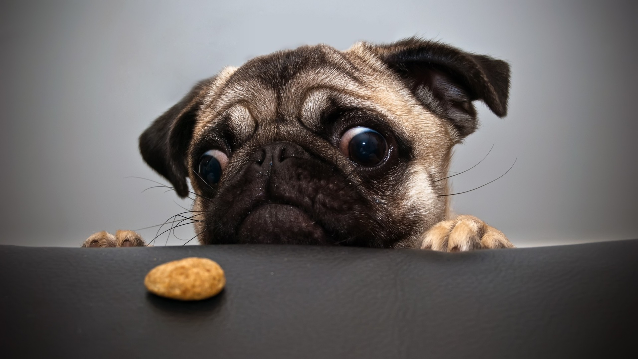 76 Pug HD Wallpapers | Backgrounds - Wallpaper Abyss