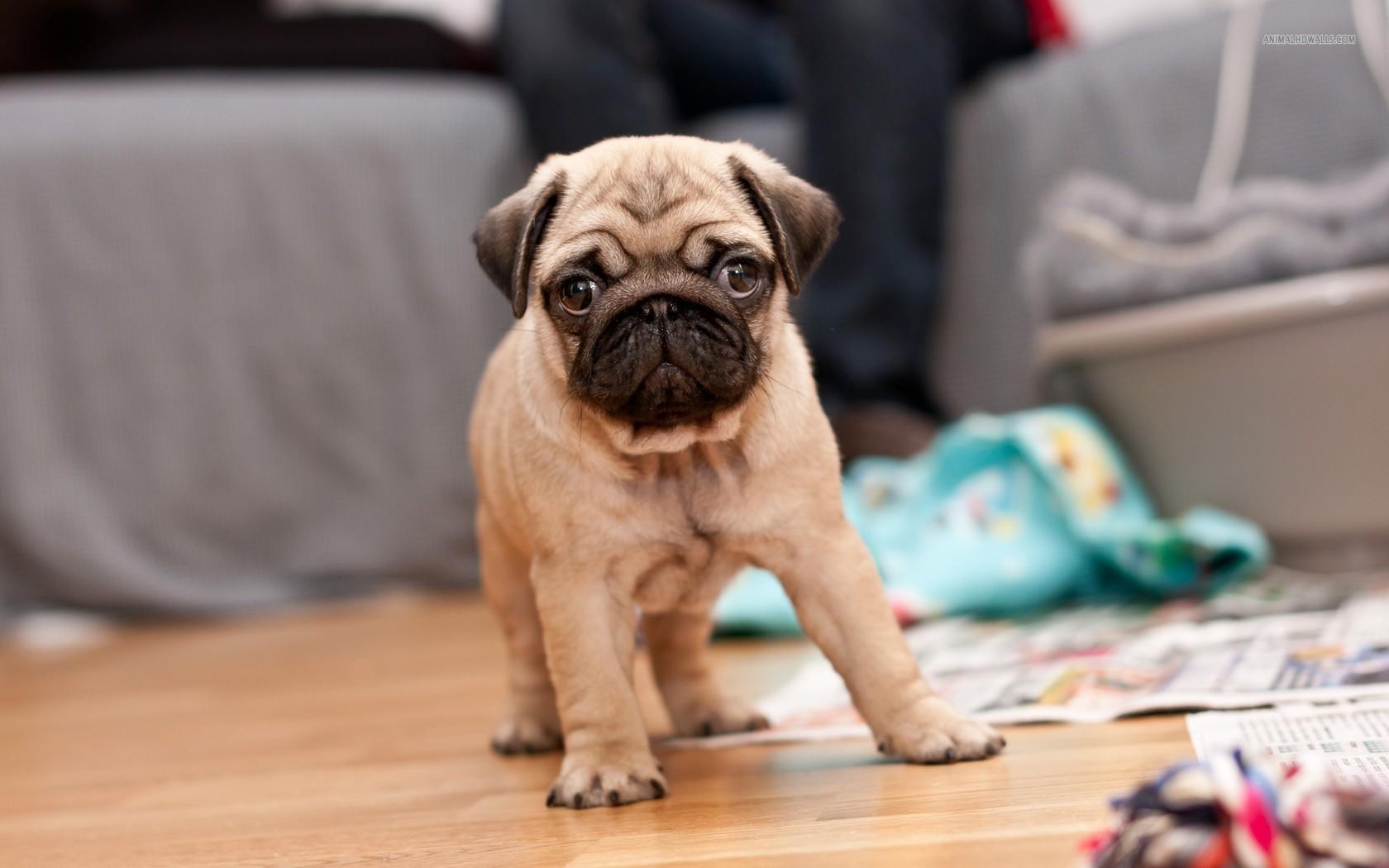 Pug Puppy Wallpaper - WallpaperSafari