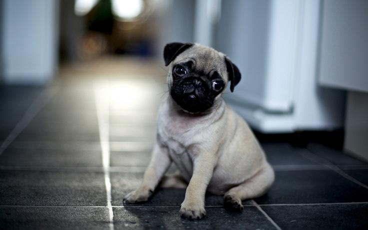 Cute Pug Puppy Wallpaper Screensaver Background | PUG WALLPAPER