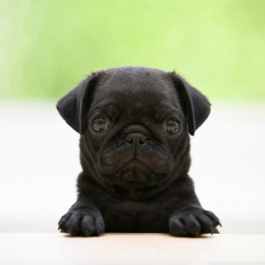 Black Pug Puppy Hd Desktop Wallpaper High Definition With Cute