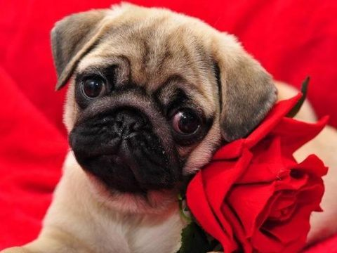 Download Pug Puppy wallpapers to your cell phone - animals cute