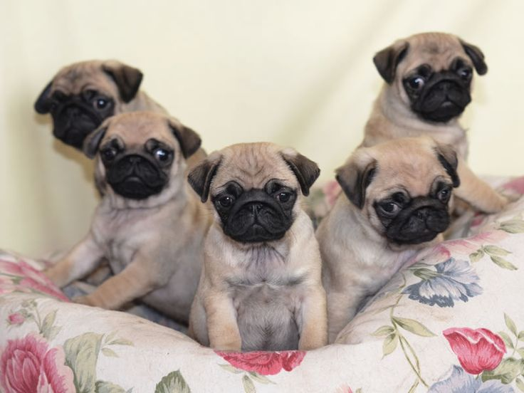 17+ images about PUG WALLPAPER SCREENSAVER on Pinterest | A pug
