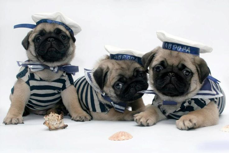 Collection of Cute Pug Puppies Wallpapers on HDWallpapers