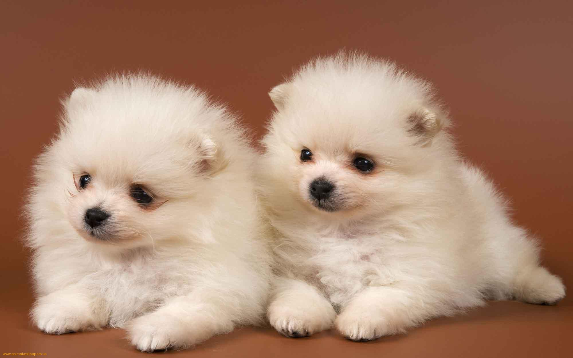 Collection Of Backgrounds Puppies On Hdwallpapers Wallpaper With