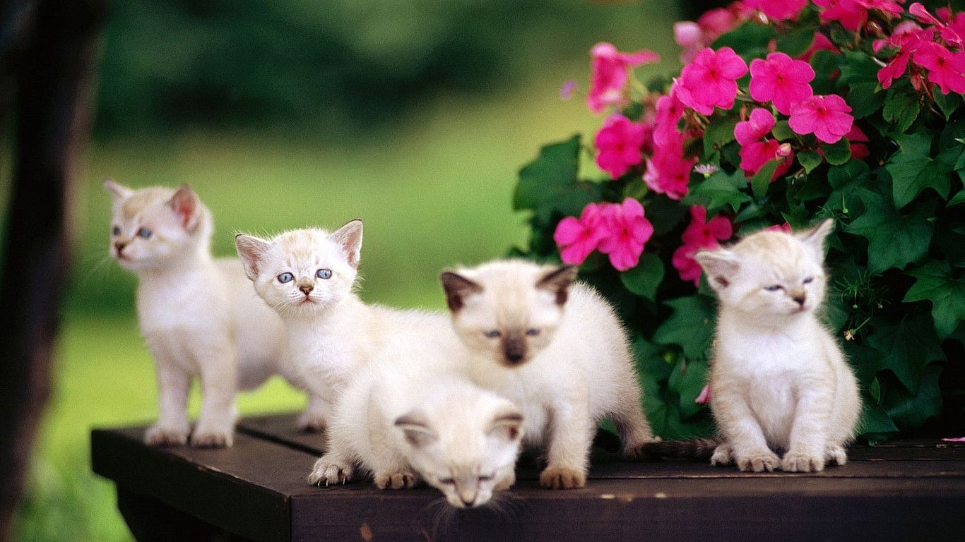 Cute White Cats Wallpapers Sf Wallpaper