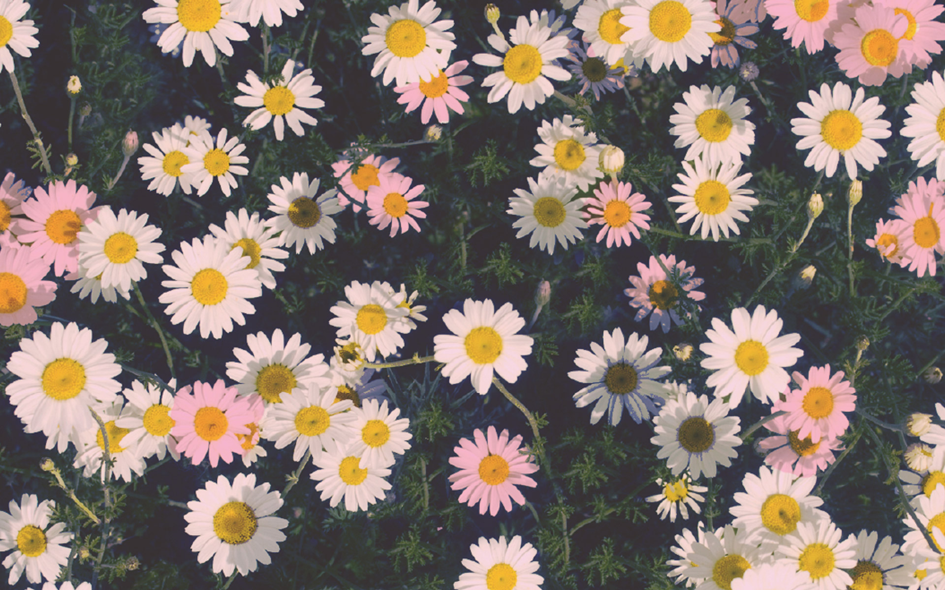 Daisy Wallpaper Background