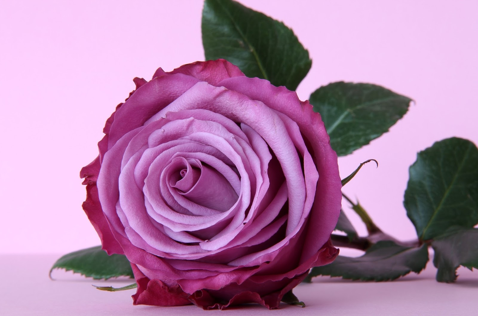 Dark Pink Rose Wallpaper Sf Wallpaper