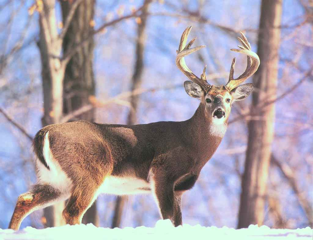 Deer Pictures For Backgrounds Group (54+)