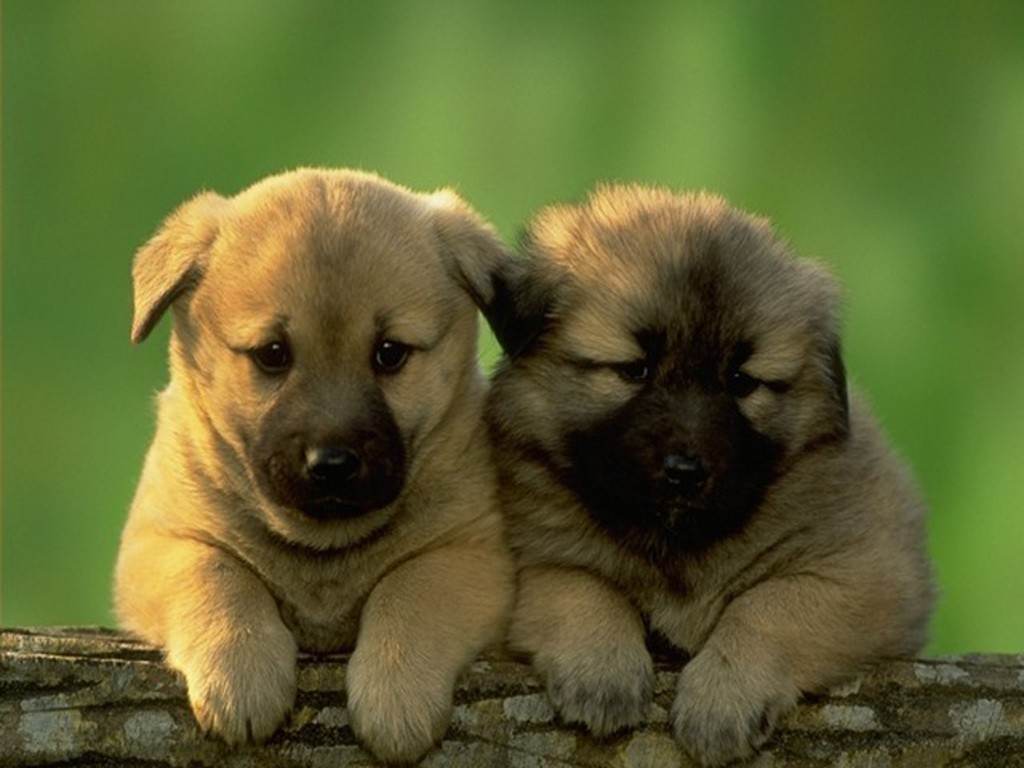 Download Puppies Wallpapers Free