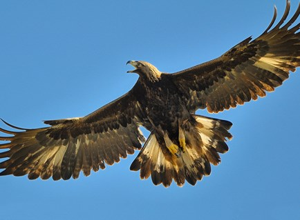 Golden Eagle, Identification, All About Birds - Cornell Lab of