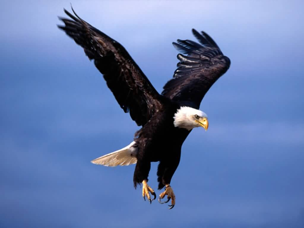 American Eagle Pictures : Bald Eagle - Fearsome Flight
