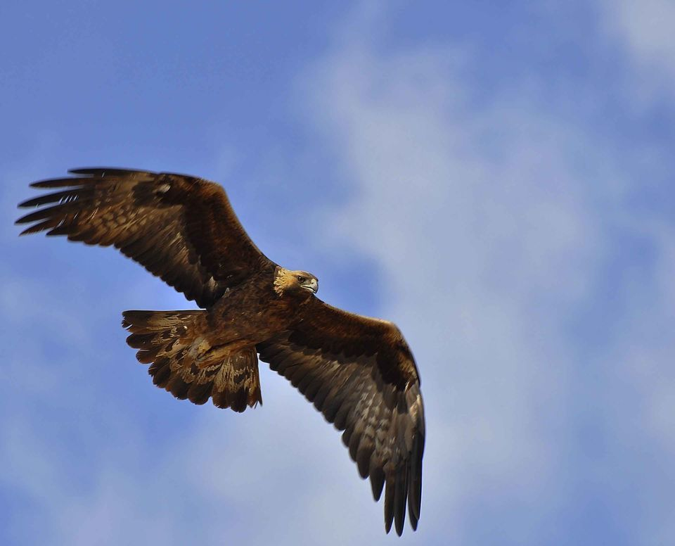 Golden Eagles, Golden Eagle Pictures, Golden Eagle Facts
