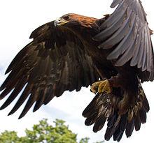 Eagle - Wikipedia