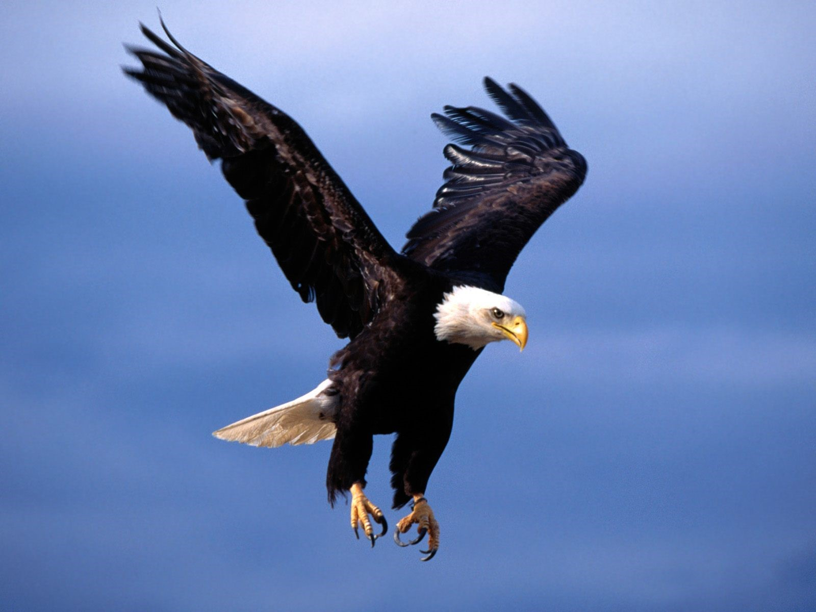 Eagle Wallpapers | Free Download Beautiful Birds HD Desktop Images