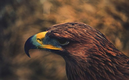 Free Wallpaper: 30+ Beautiful Eagle Pictures