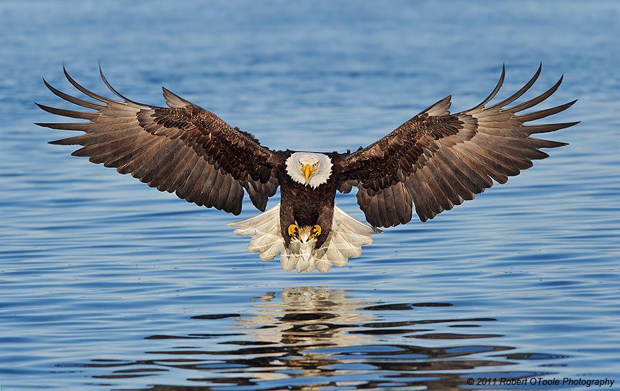 Eagle wallpaper free download - SF Wallpaper