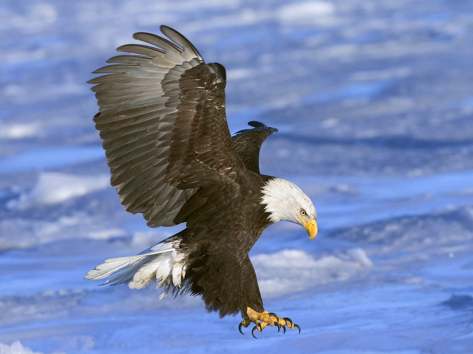 Eagle Wallpapers Free Download Group (89+)
