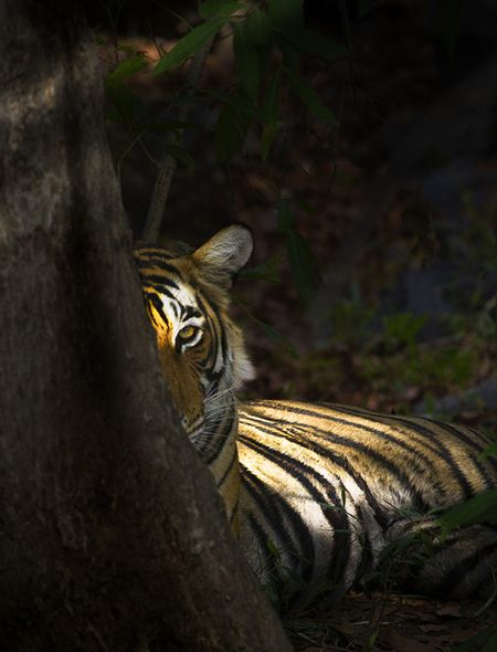 Eye of the Tiger Wallpaper for Phones and Tablets | wallpaper