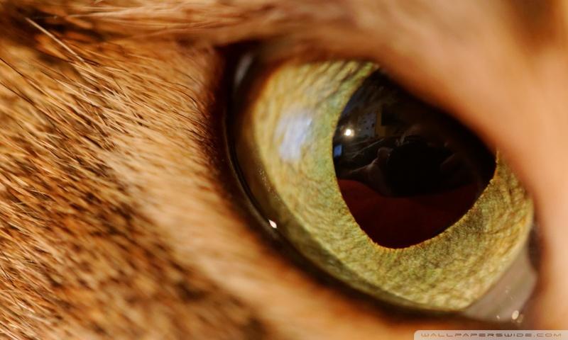 Eye Of The Tiger HD desktop wallpaper : Widescreen : High