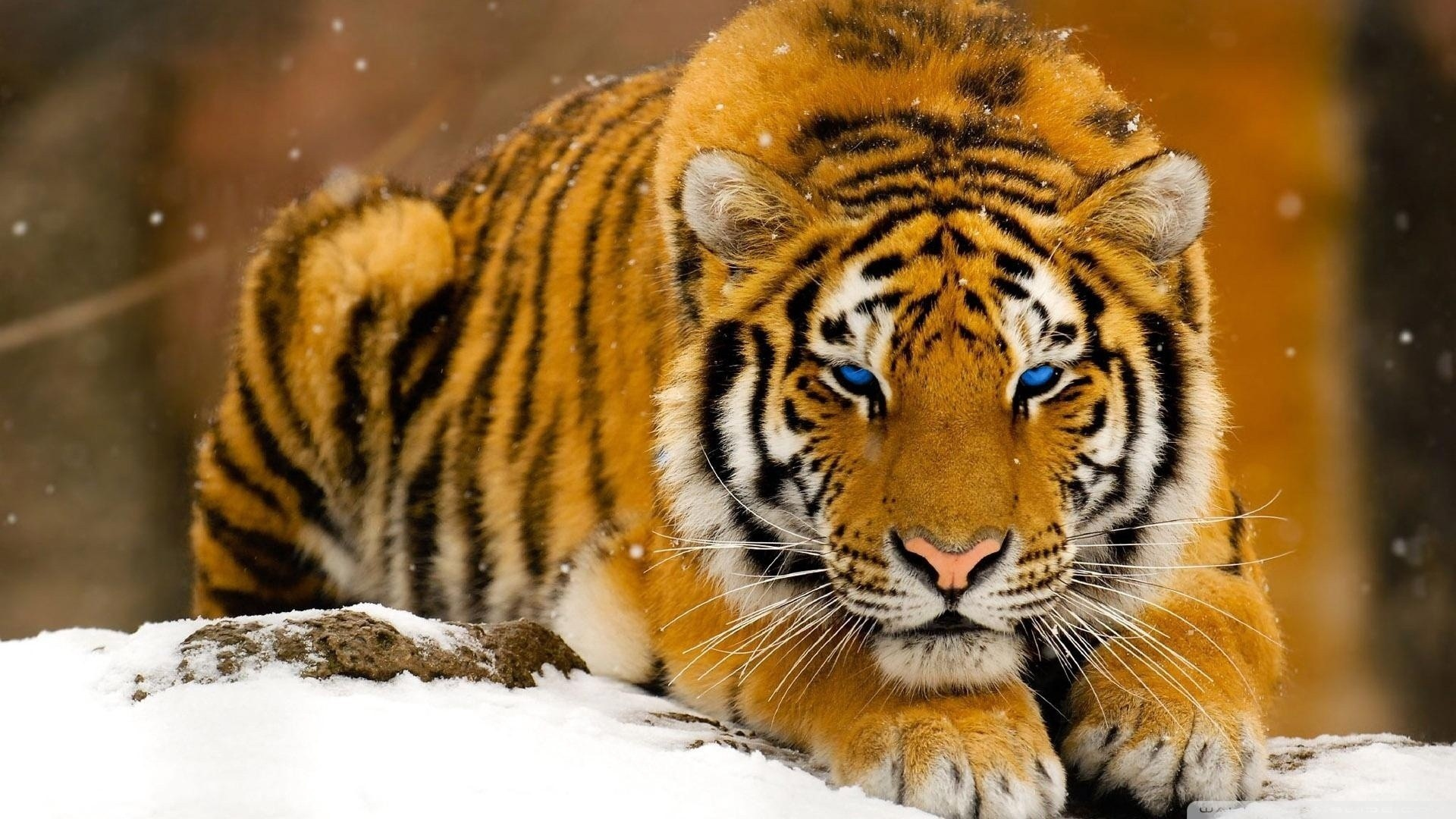 Snowy Tiger With Blue Eye | HD Wallpapers
