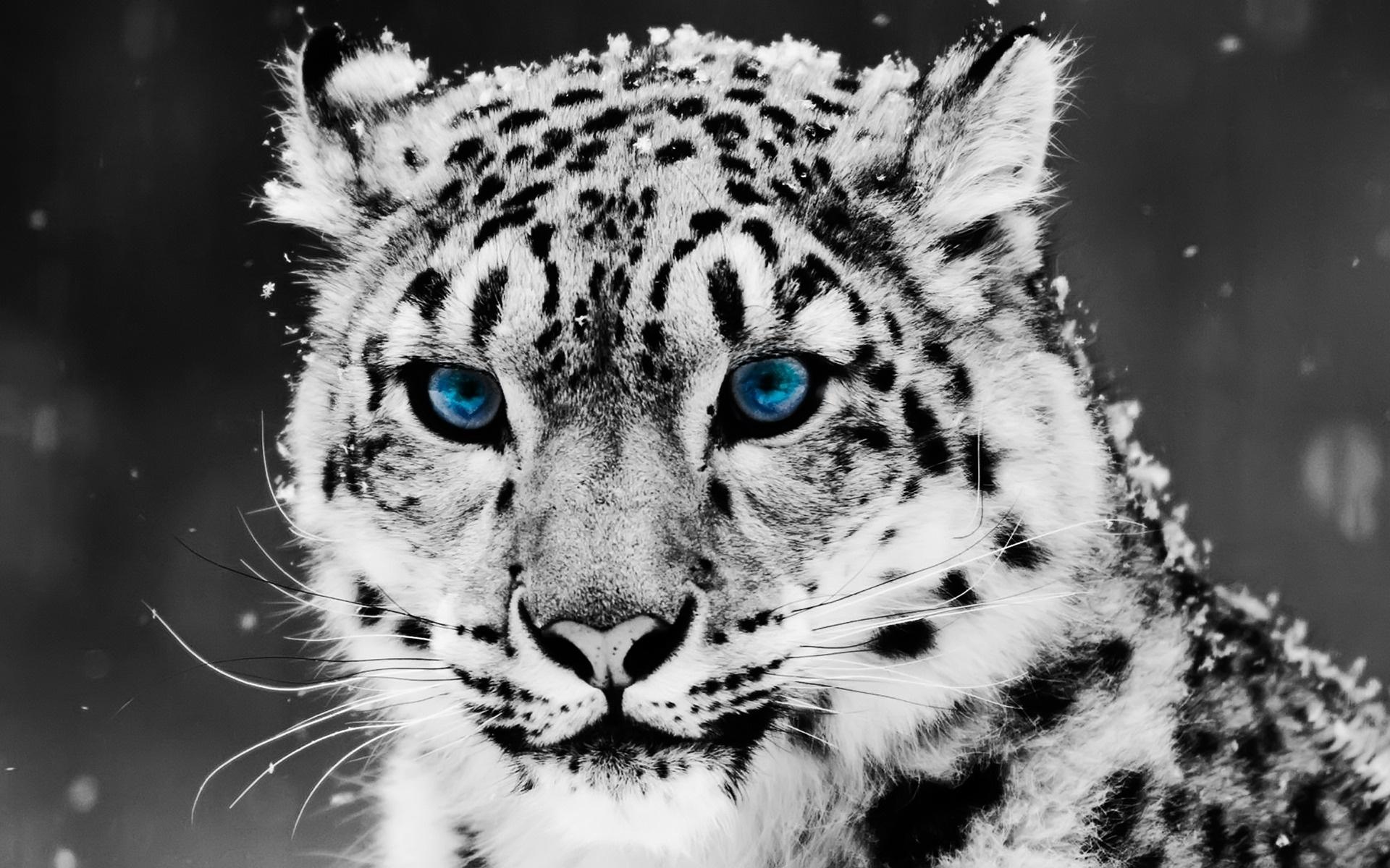 Snow Blue Eye Leopard Wallpapers   HD Wallpapers