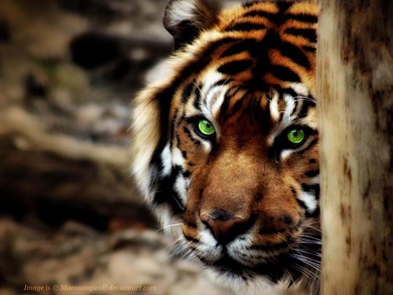 tiger eye wallpaper #13