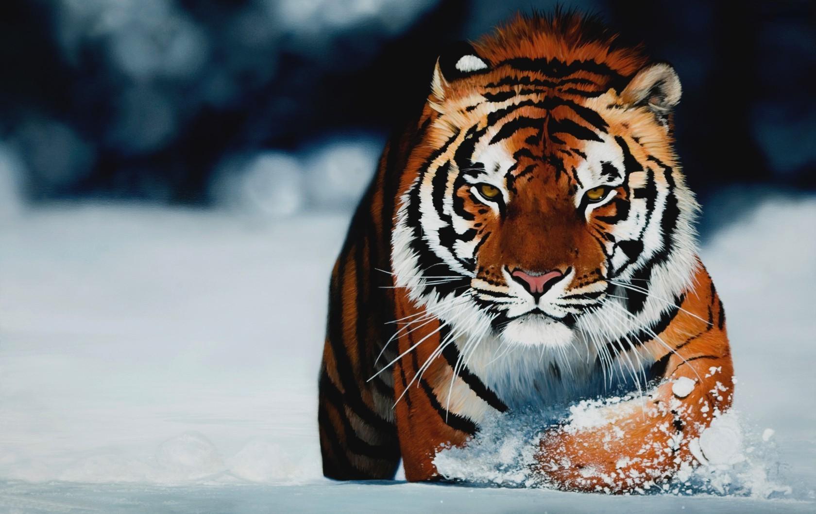 tiger eye wallpaper #23