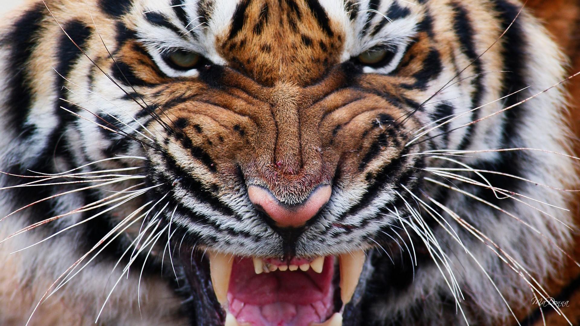 Tiger Eye Wallpaper