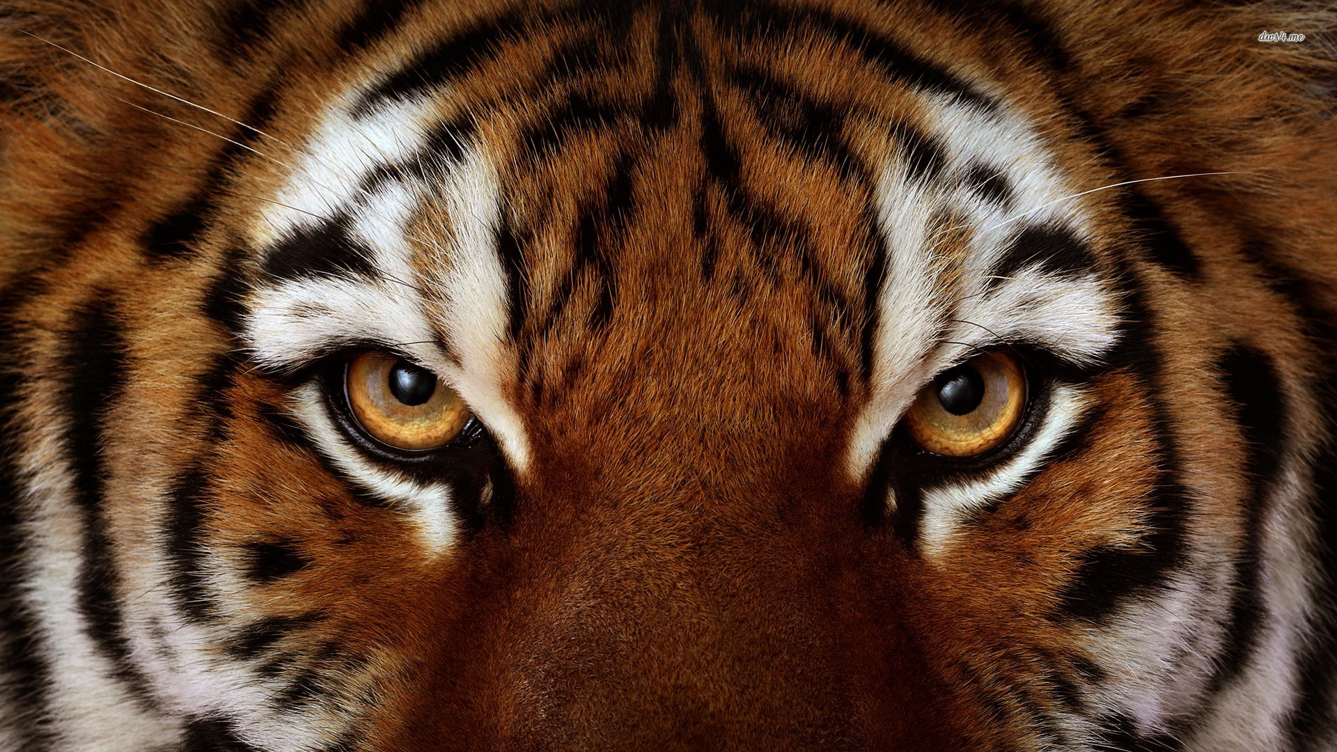 tiger eye wallpaper #3