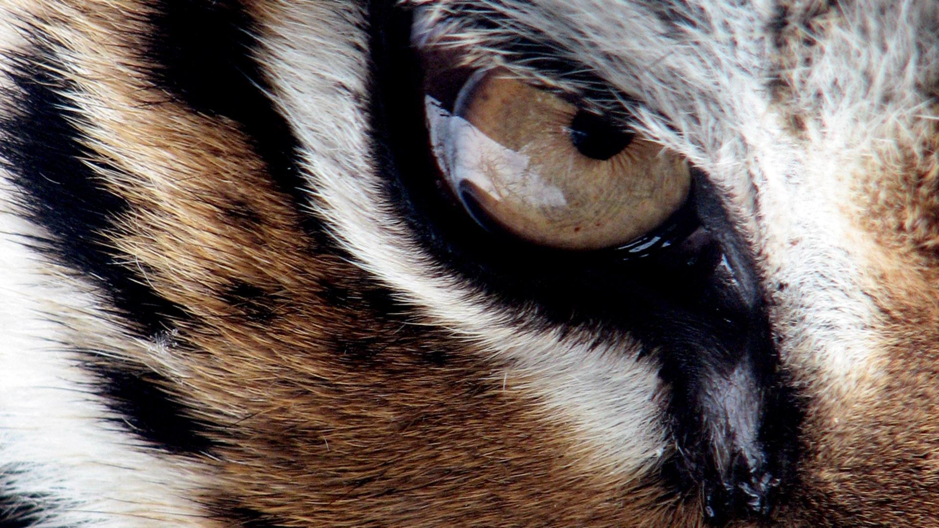 tiger eye wallpaper #18