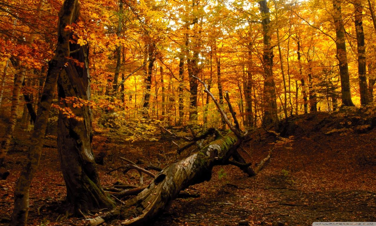 Autumn Forest HD desktop wallpaper : High Definition : Fullscreen