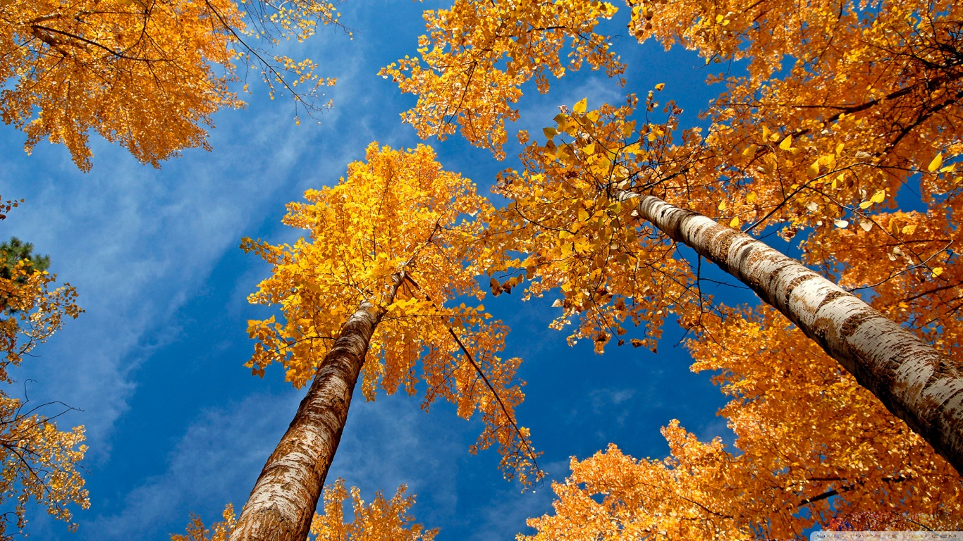 Fall Trees HD desktop wallpaper : Widescreen : High Definition