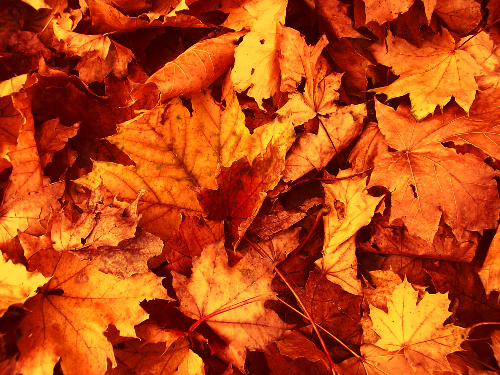 Fall Leaves Wallpapers 3911 - Amazing Wallpaperz