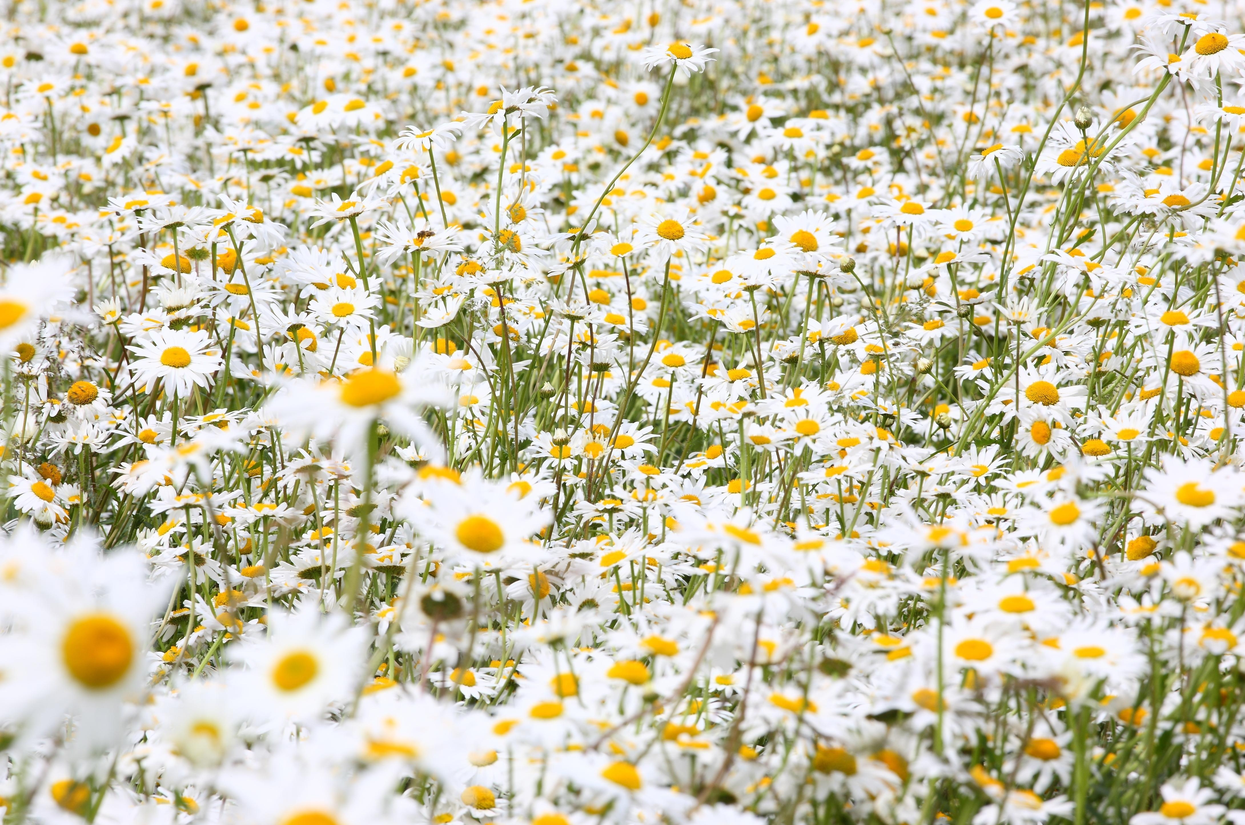 Field of daisies wallpaper sf wallpaper lavender wallpaper widescreen pattern color tumblr for iphone src izmirmasajfo Images