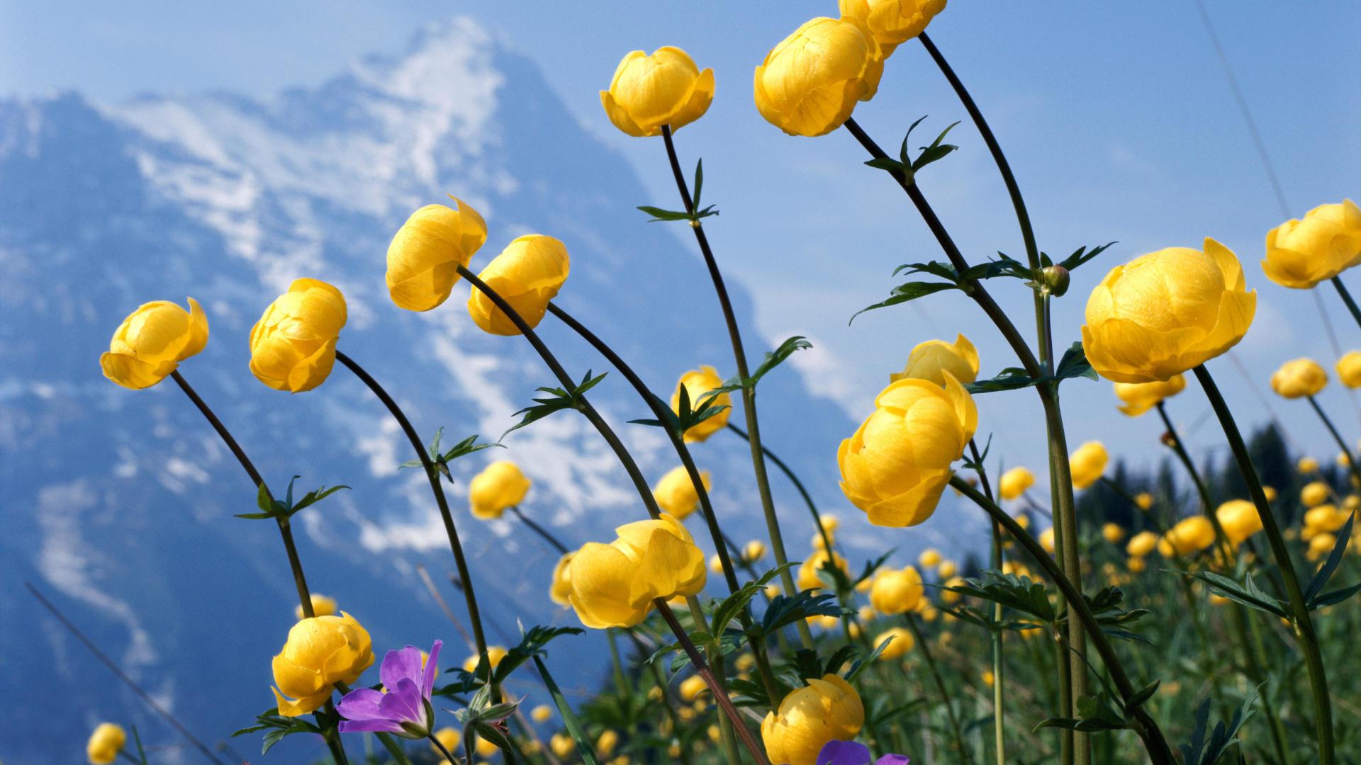 25 Free HD Flowers Wallpapers
