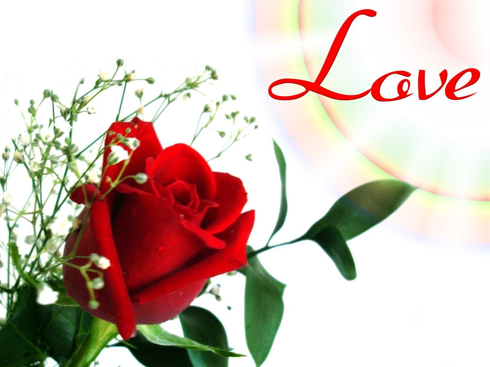love rose images sf wallpaper