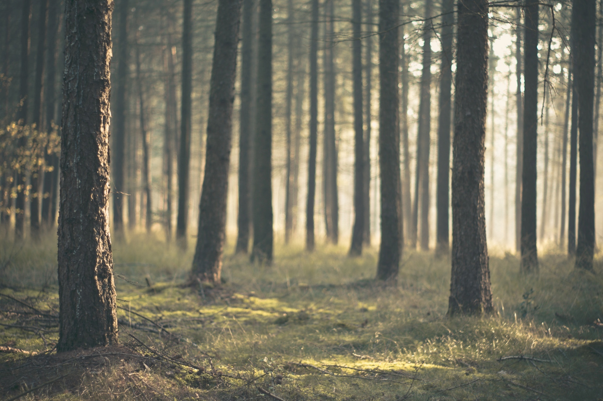 Pine Forest Free Download HD Wallpapers 14778 - Amazing Wallpaperz