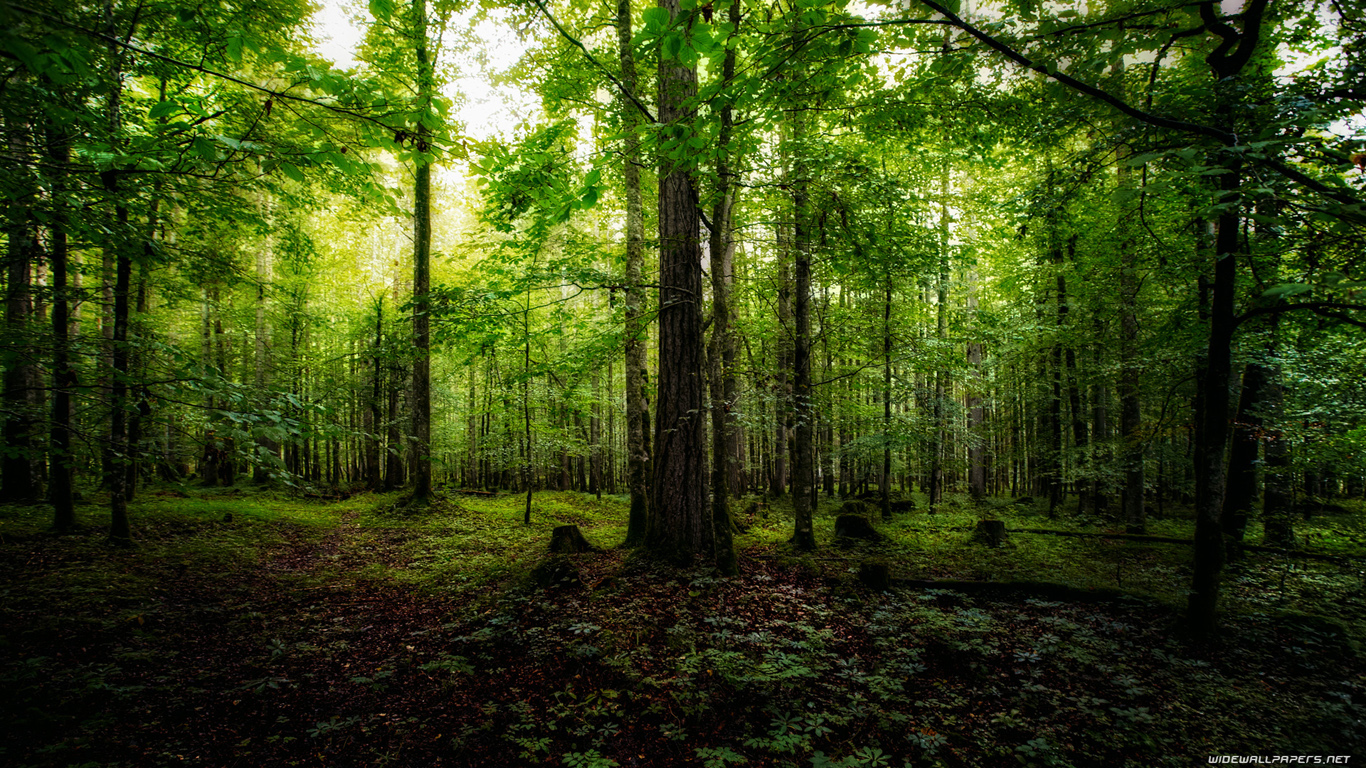 forest hd background sf wallpaper