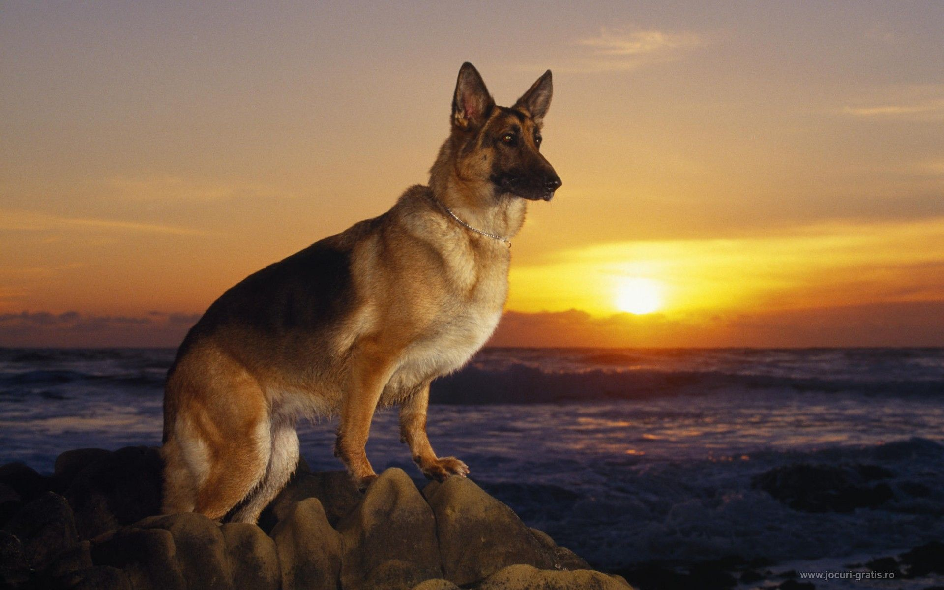 German Shepherd Wallpaper Sf Wallpaper