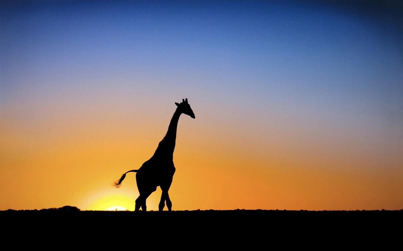 HD Giraffes Wallpapers And Photos