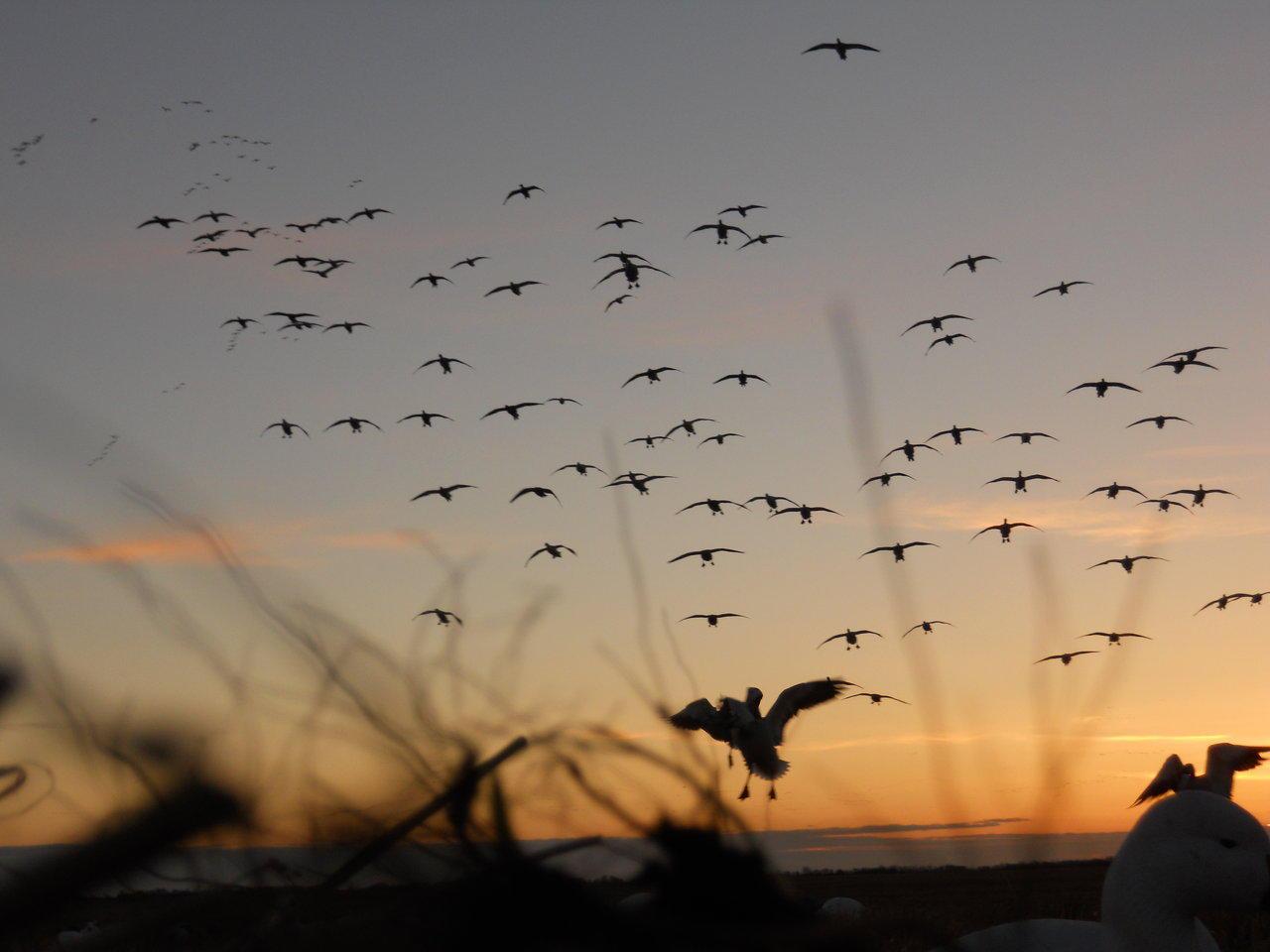 Goose hunting wallpaper - SF Wallpaper