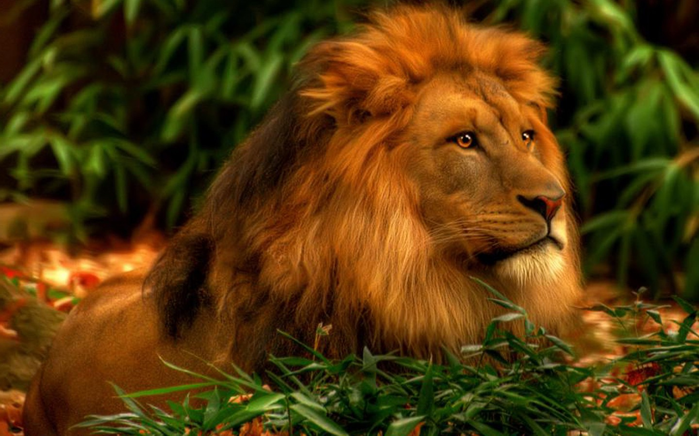 30+ Best Amazing HD Lion Wallpaper - Desktop and Mobile Phones