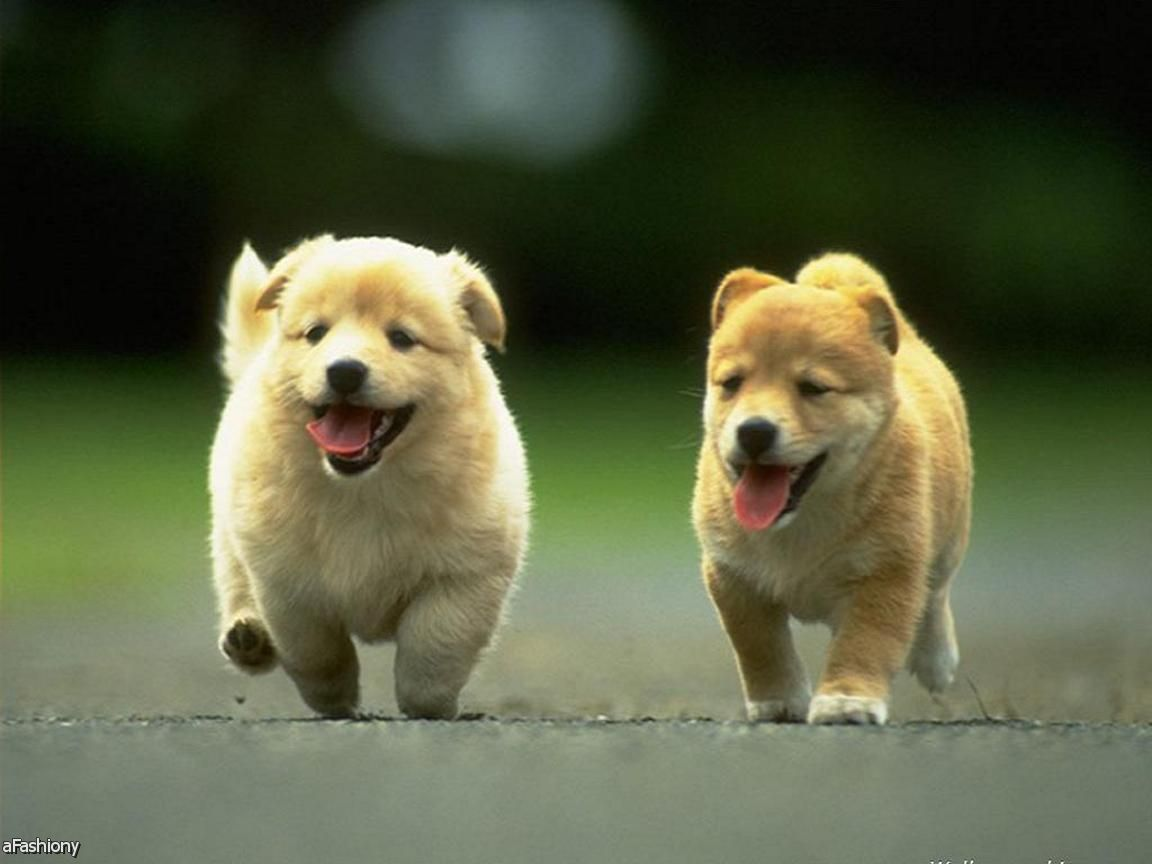 hd puppies wallpaper - sf wallpaper