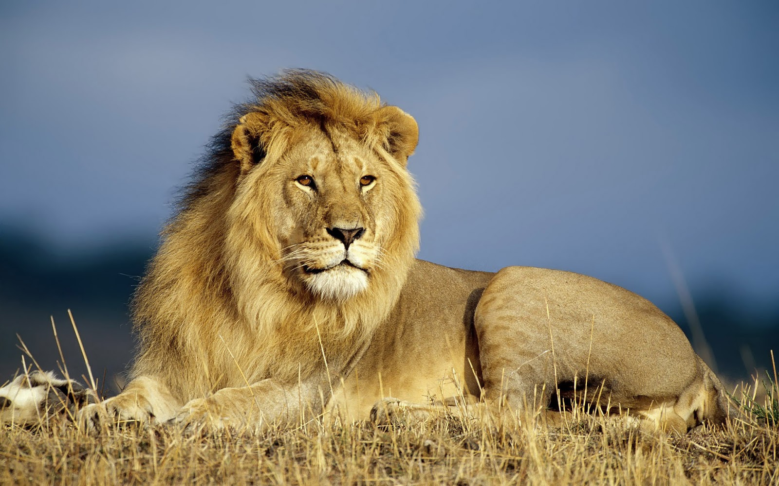 HD Lions Wallpapers and Photos | HD Animals Wallpapers