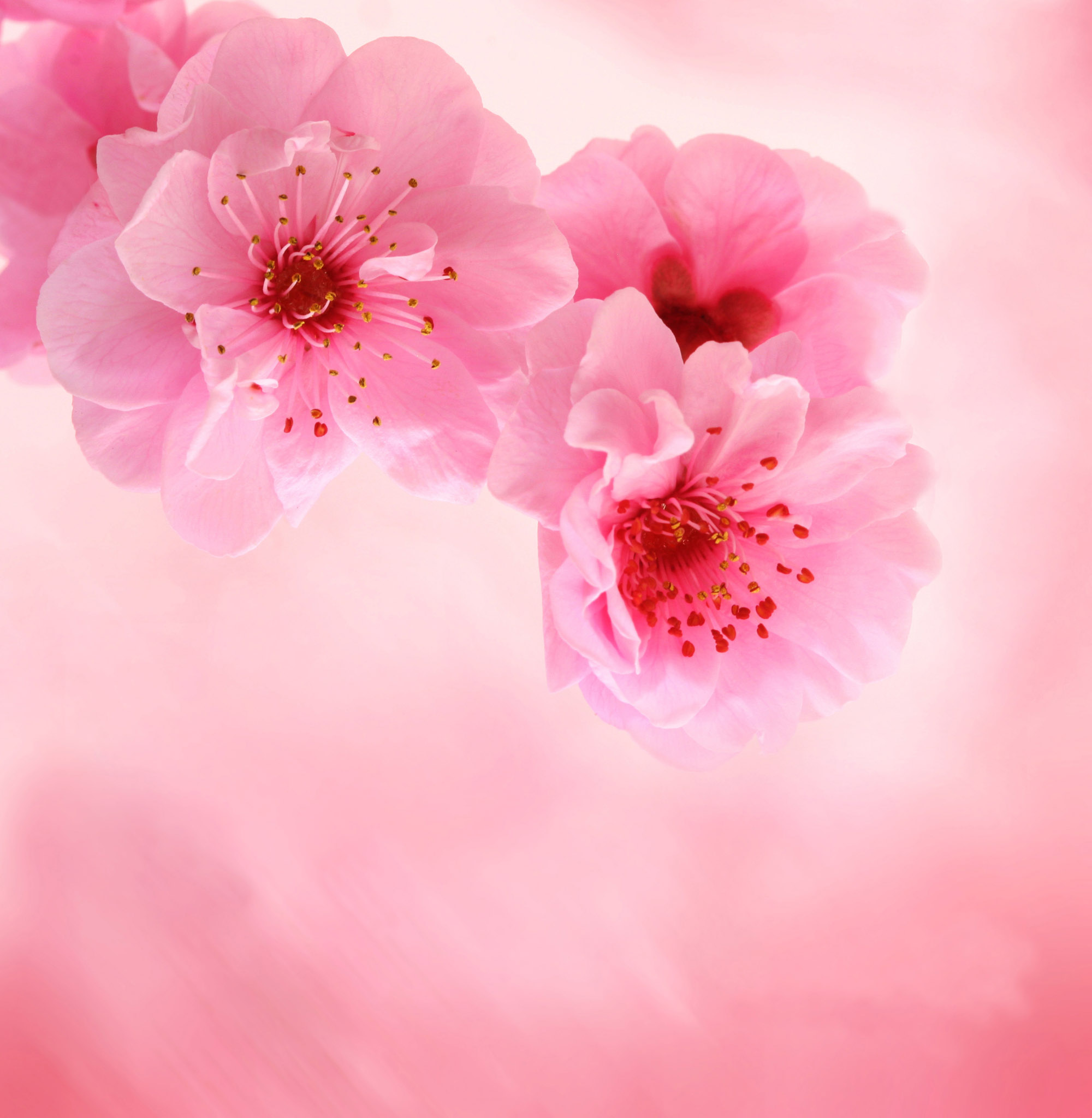 Must see Wallpaper High Resolution Cherry Blossom - high-definition-flower-wallpapers-15  Graphic_2582.jpg